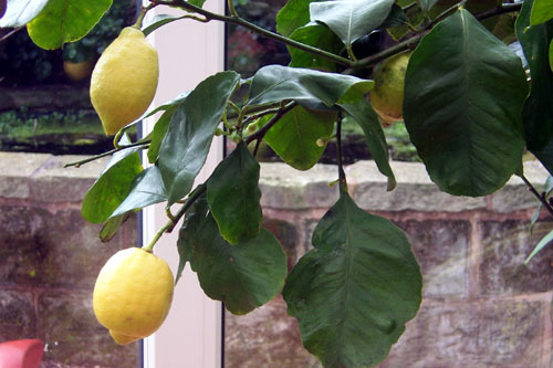 lemons_on_tree.jpg
